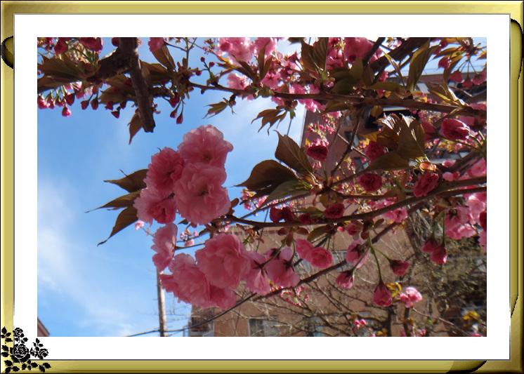 法拉盛市政厅周围的粉红(红色)樱花盛开了_图1-19