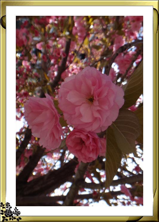 法拉盛市政厅周围的粉红(红色)樱花盛开了_图1-24