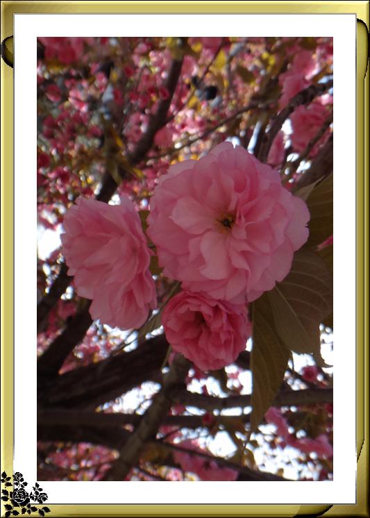 法拉盛市政厅周围的粉红(红色)樱花盛开了_图1-20