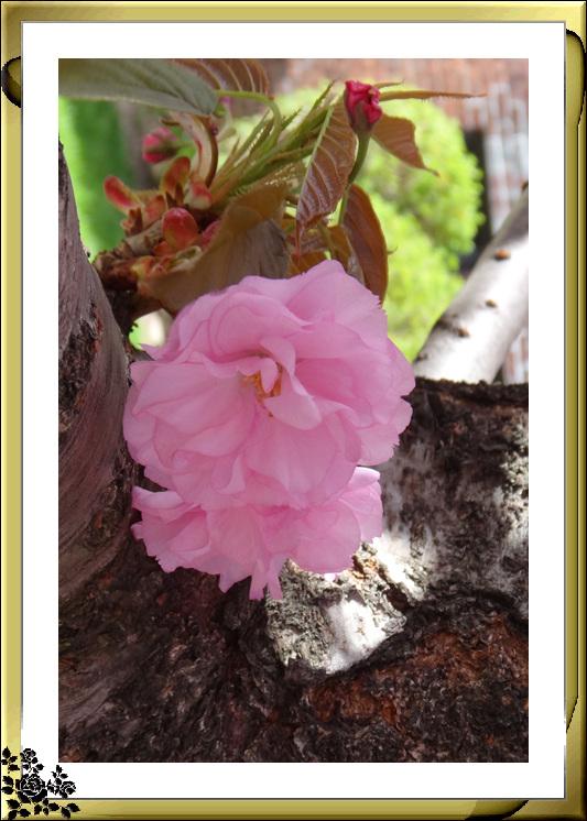 法拉盛市政厅周围的粉红(红色)樱花盛开了_图1-21
