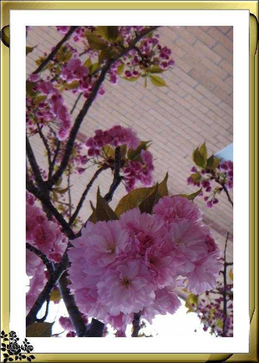 法拉盛市政厅周围的粉红(红色)樱花盛开了_图1-22