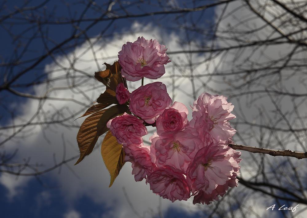 日本公园樱花        【一片叶】_图1-1