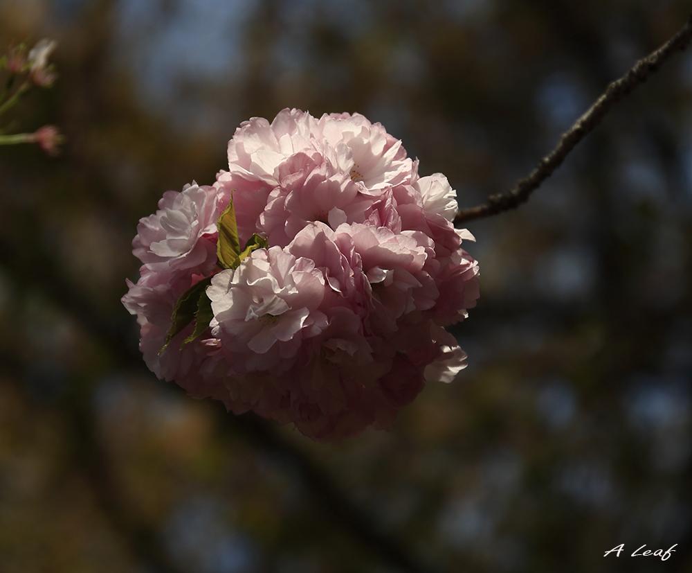 日本公园樱花        【一片叶】_图1-3
