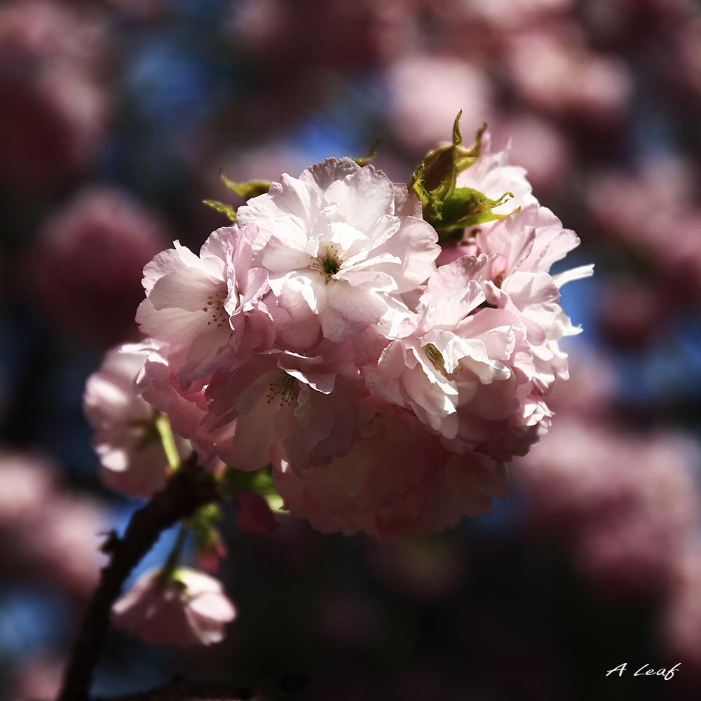日本公园樱花        【一片叶】_图1-5