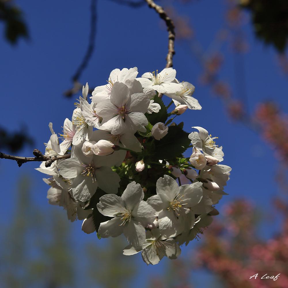 日本公园樱花        【一片叶】_图1-6