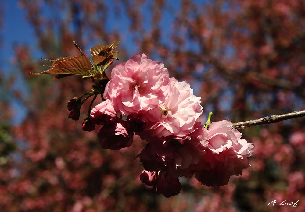 日本公园樱花        【一片叶】_图1-7
