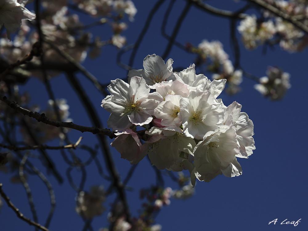 日本公园樱花        【一片叶】_图1-8