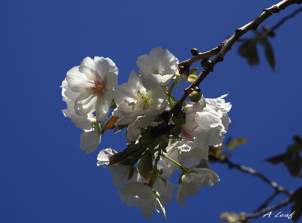日本公园樱花        【一片叶】_图1-9