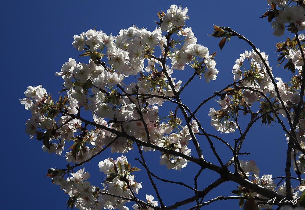 日本公园樱花        【一片叶】_图1-10