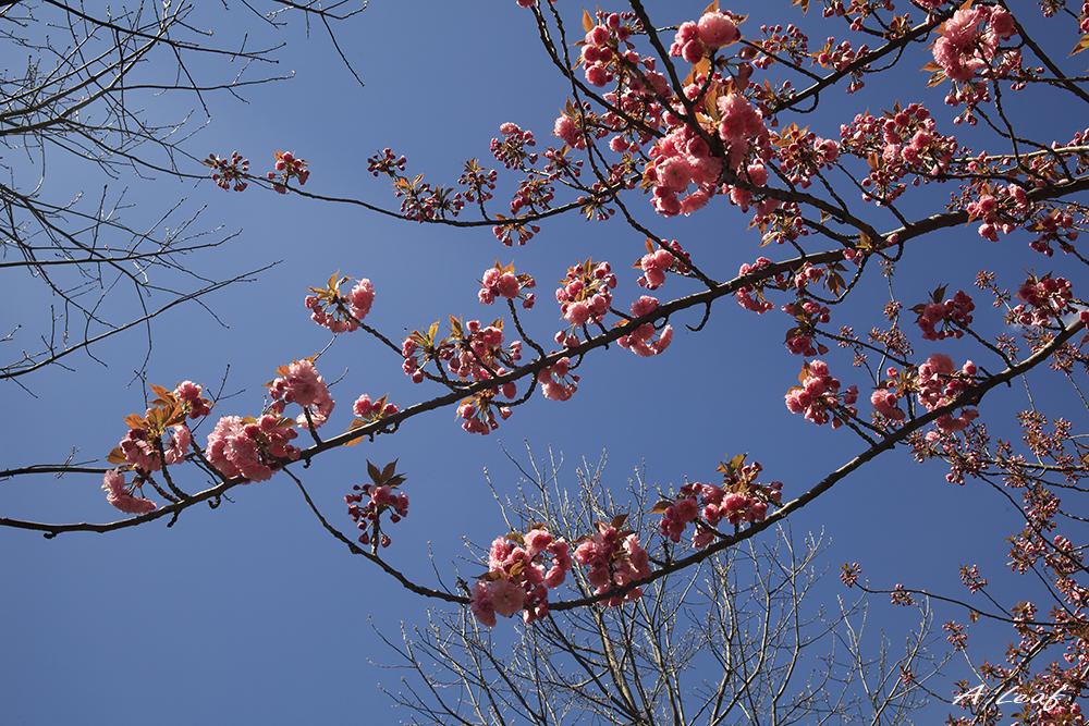 日本公园樱花        【一片叶】_图1-11