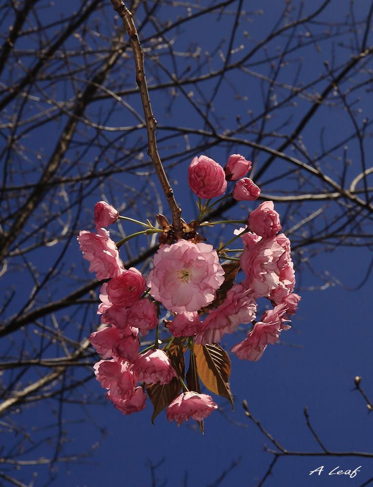 日本公园樱花        【一片叶】_图1-12
