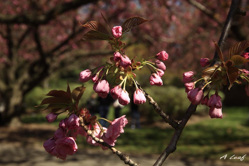 日本公园樱花        【一片叶】_图1-16