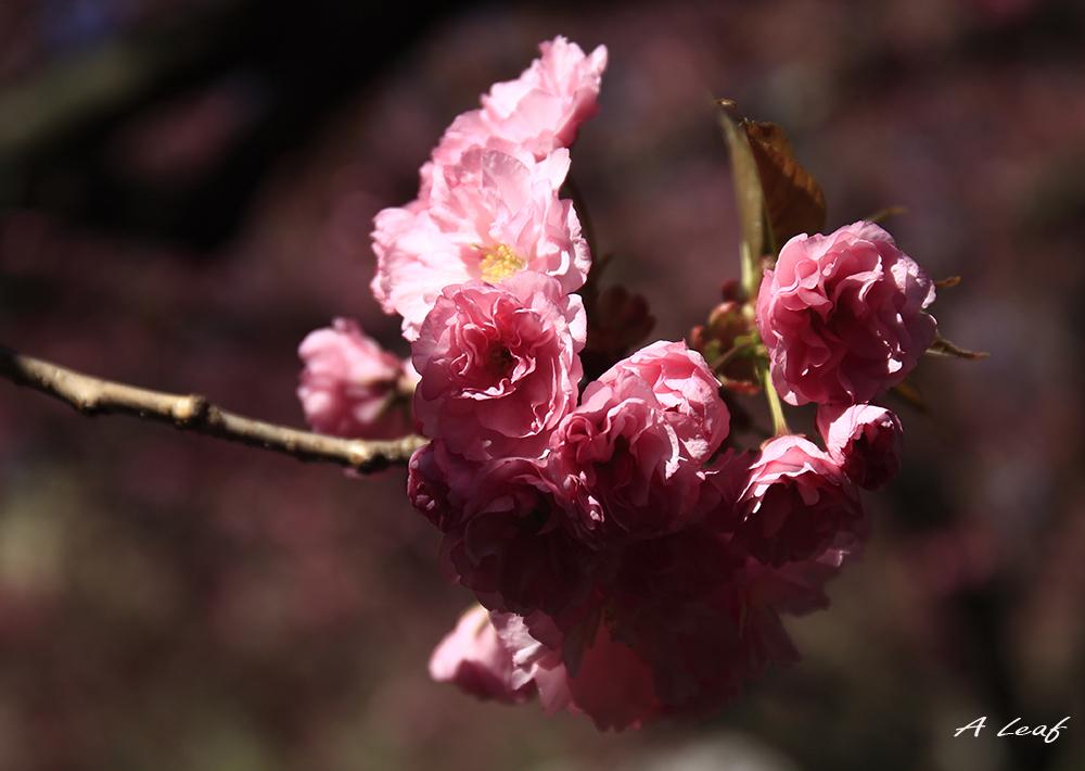 日本公园樱花        【一片叶】_图1-14