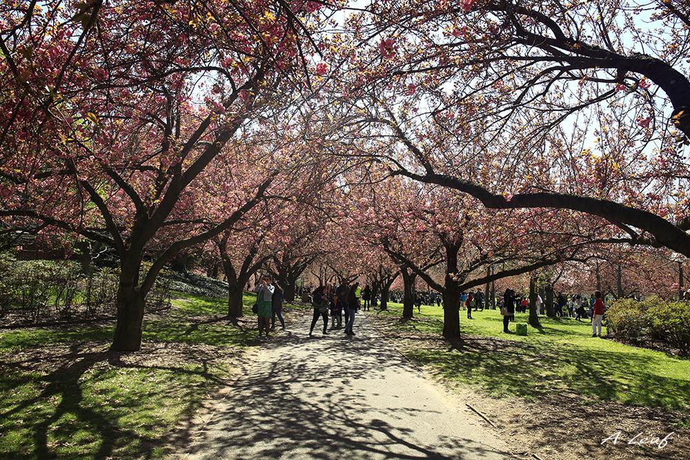 日本公园樱花        【一片叶】_图1-15