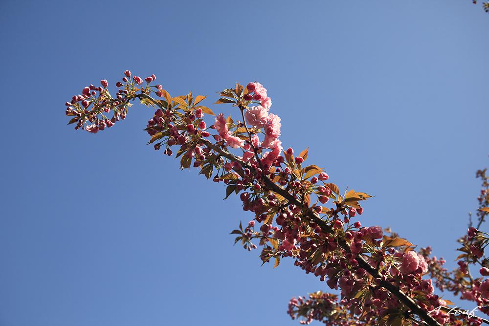 日本公园樱花        【一片叶】_图1-13