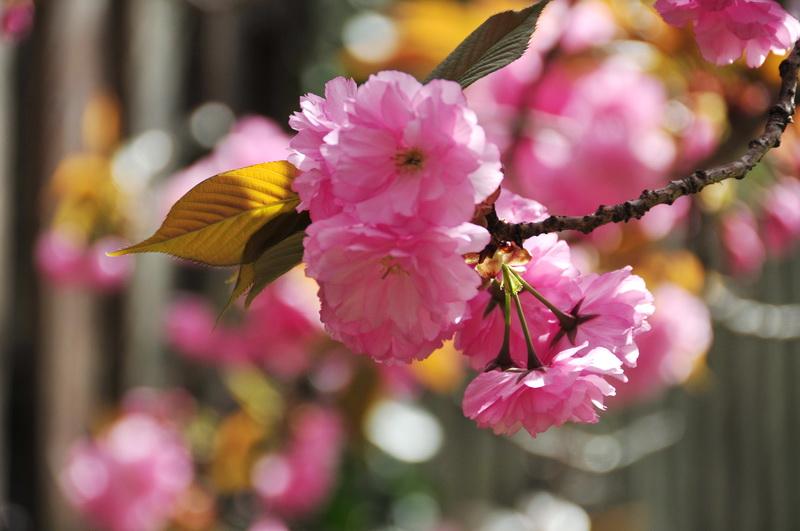 【老谢凭栏】路边樱花也妖艳_图1-1