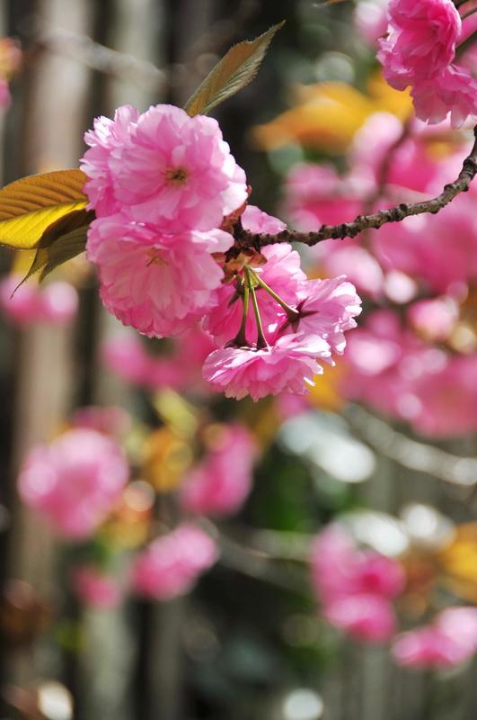 【老谢凭栏】路边樱花也妖艳_图1-2