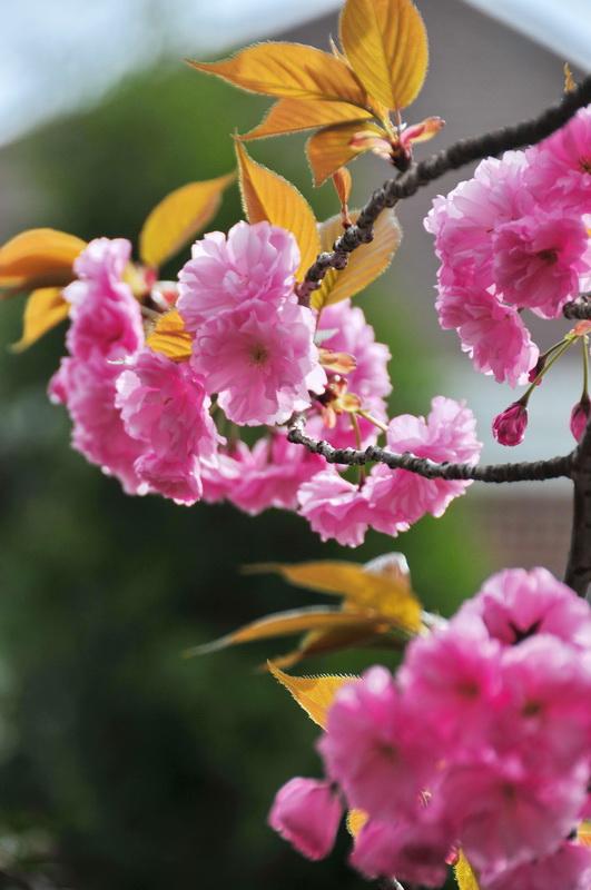 【老谢凭栏】路边樱花也妖艳_图1-3