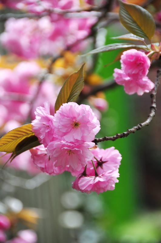 【老谢凭栏】路边樱花也妖艳_图1-7