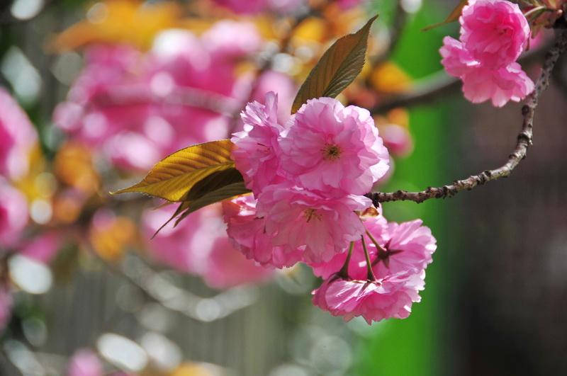 【老谢凭栏】路边樱花也妖艳_图1-6
