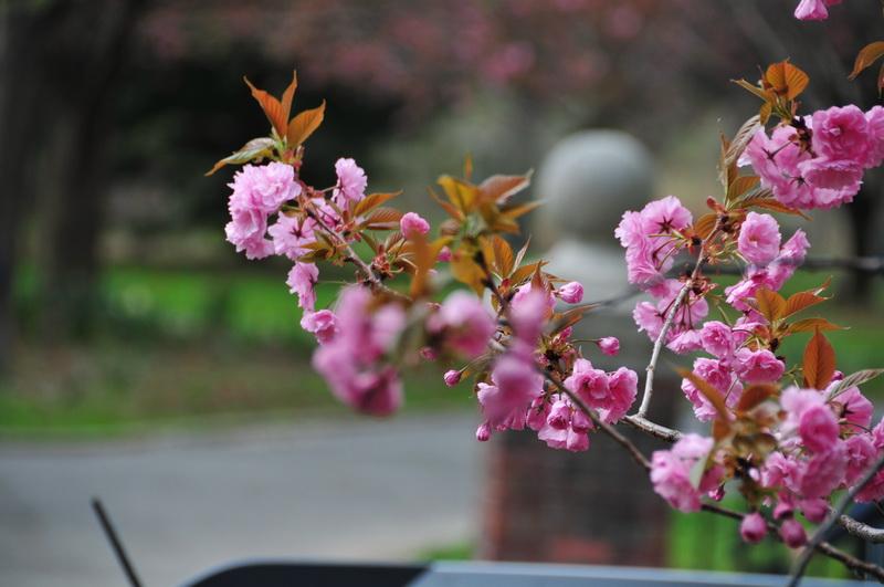 【老谢凭栏】路边樱花也妖艳_图1-10