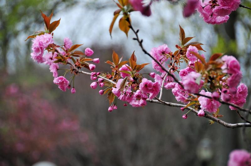 【老谢凭栏】路边樱花也妖艳_图1-11