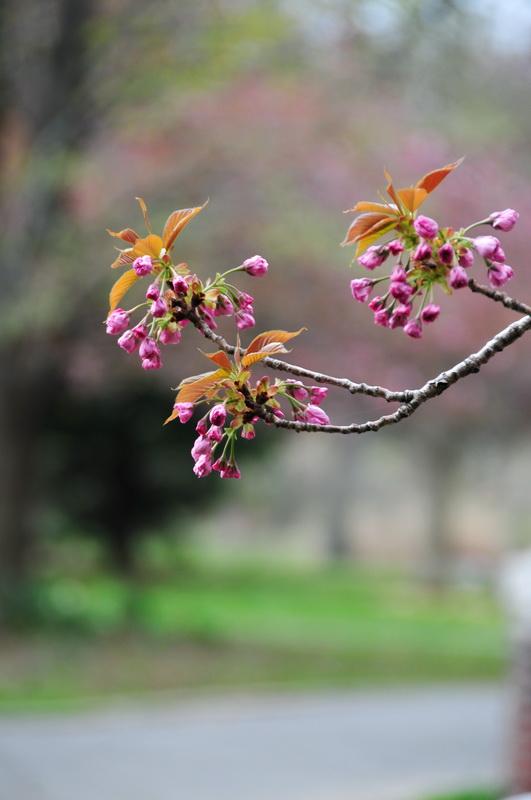 【老谢凭栏】路边樱花也妖艳_图1-12