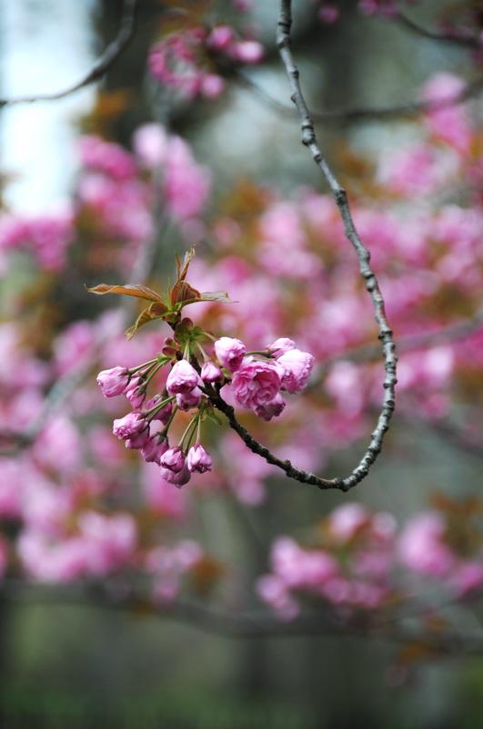 【老谢凭栏】路边樱花也妖艳_图1-13