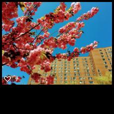 孔子大夏樱花盛开了