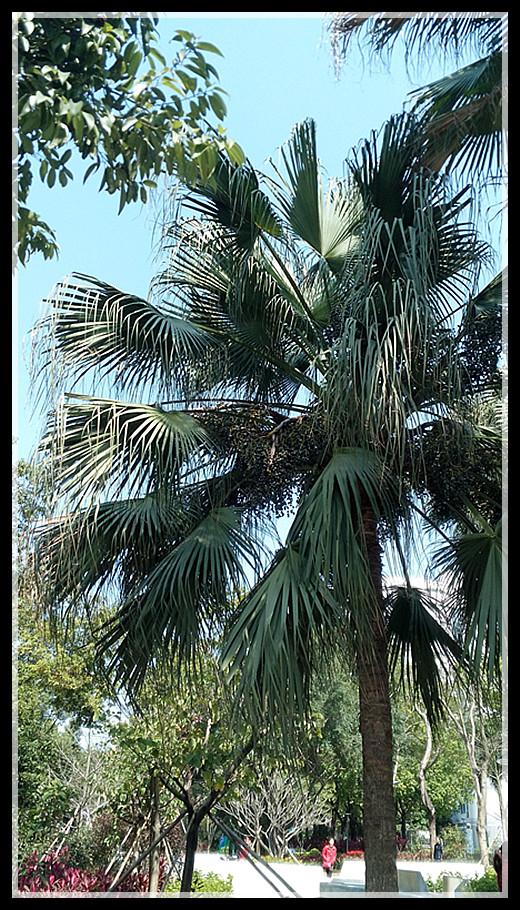【原创】南国棕榈何其多_图1-1