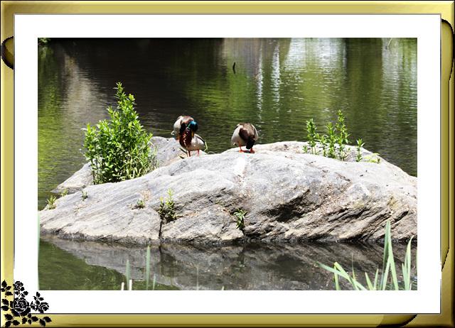 中央公园初夏,树木茂盛,花卉盛开,风景优美,游客兴旺! ..._图1-18