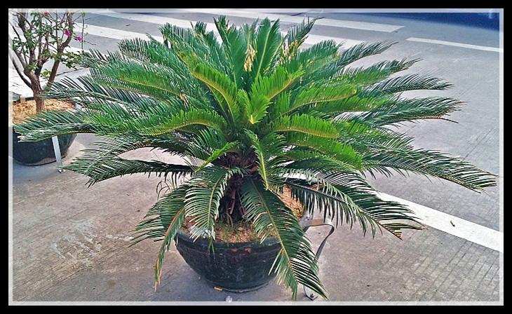 【原创】南国棕榈何其多_图1-9