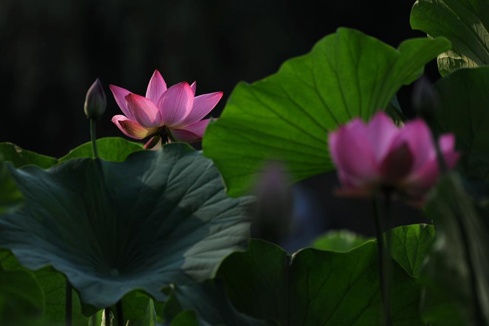 夏日荷花_图1-16