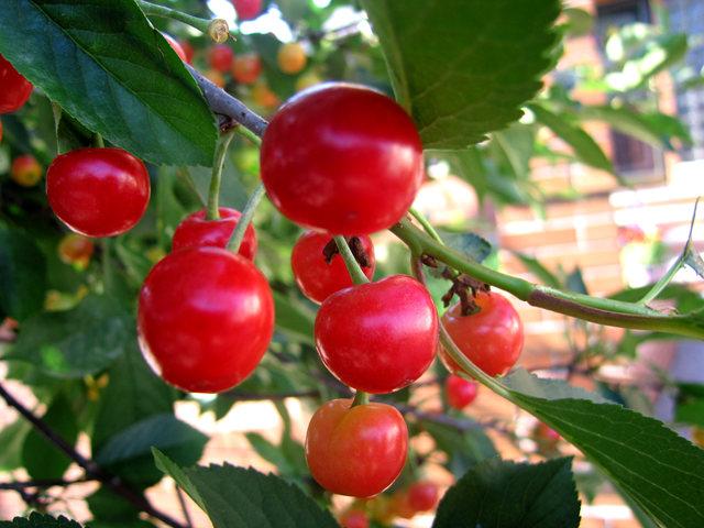 我的樱桃树_图1-1