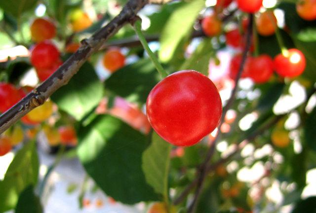 我的樱桃树_图1-7