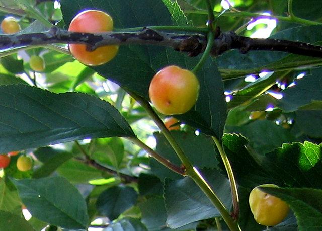 我的樱桃树_图1-9