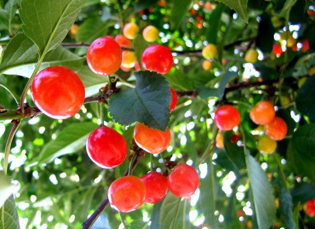 我的樱桃树_图1-11