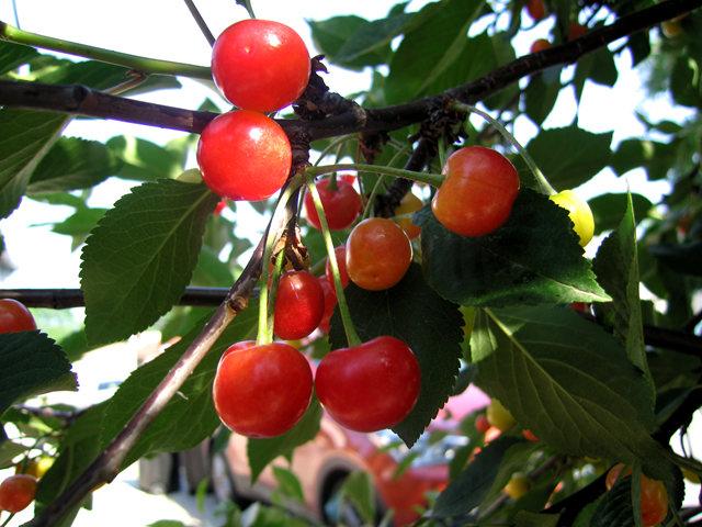 我的樱桃树_图1-13