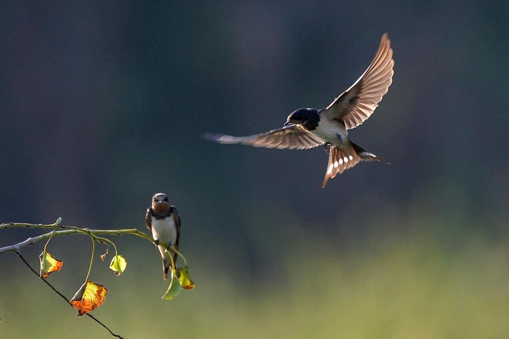 燕舞---岩沙燕的空中之舞