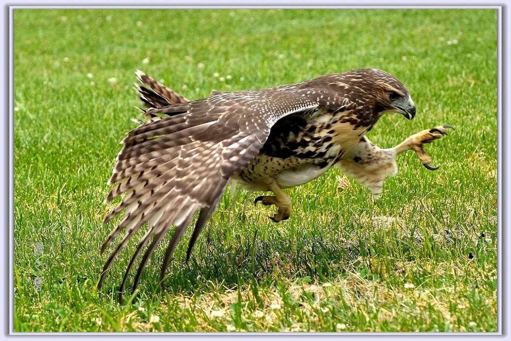 小鹰练翅_图1-1