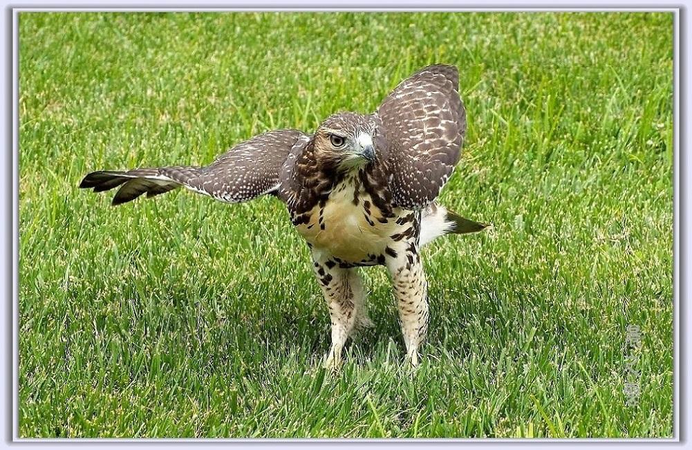 小鹰练翅_图1-2