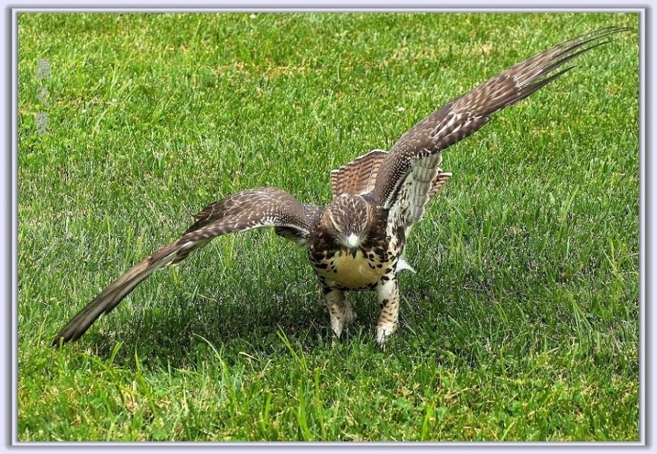 小鹰练翅_图1-12
