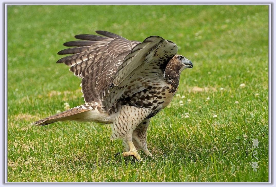 小鹰练翅_图1-16