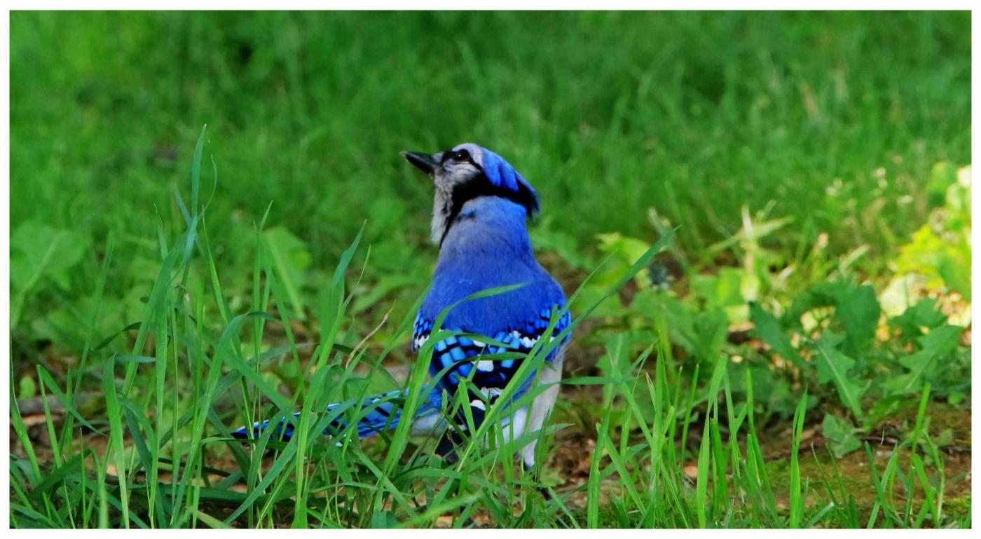 美国拍菜鸟(之五)冠蓝鸦_图1-2