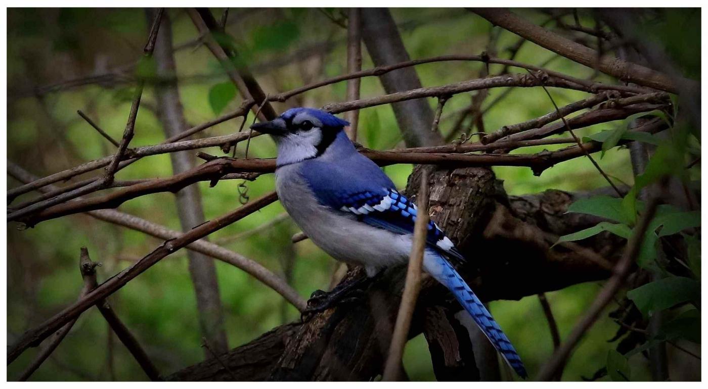 美国拍菜鸟(之五)冠蓝鸦_图1-3