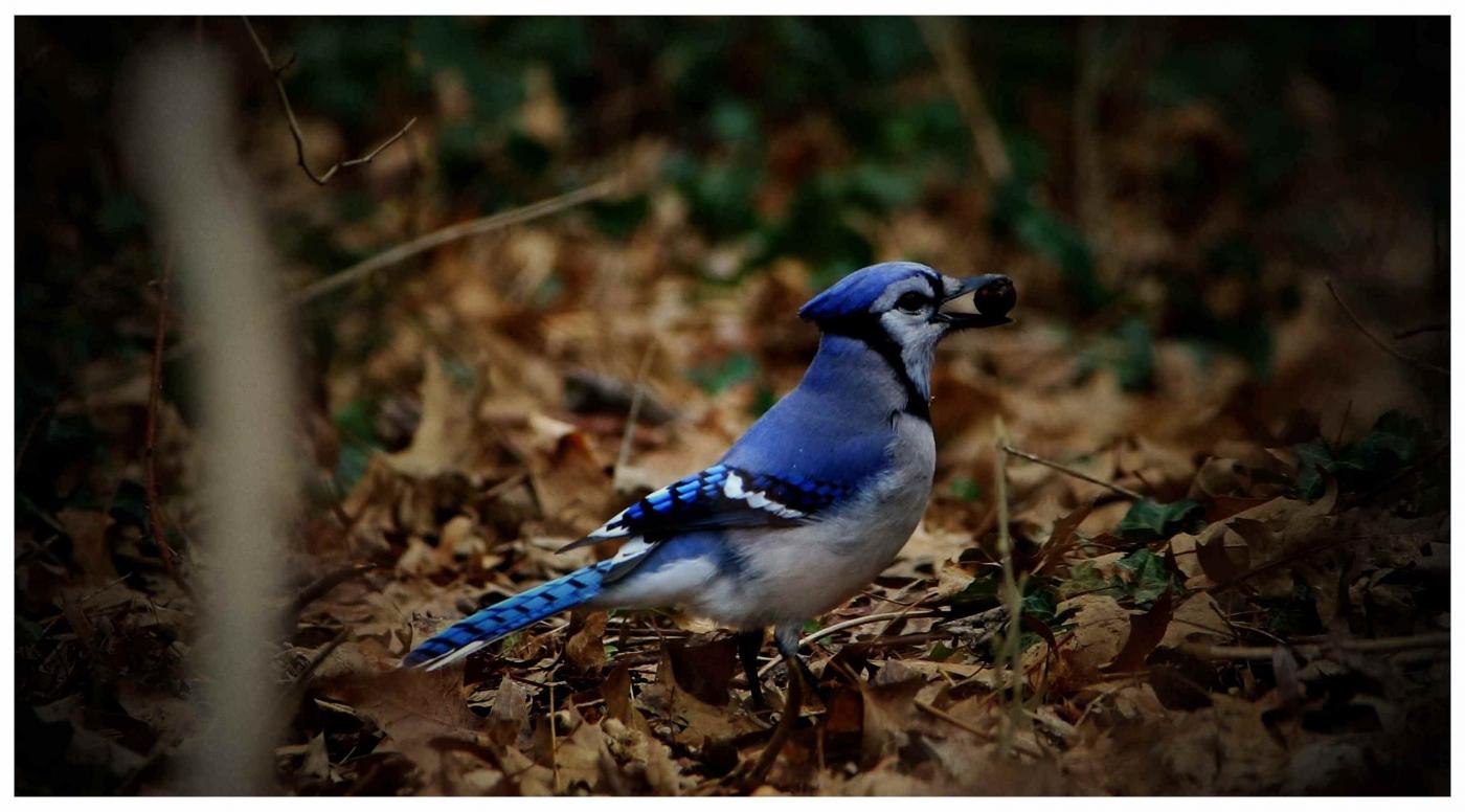 美国拍菜鸟(之五)冠蓝鸦_图1-4