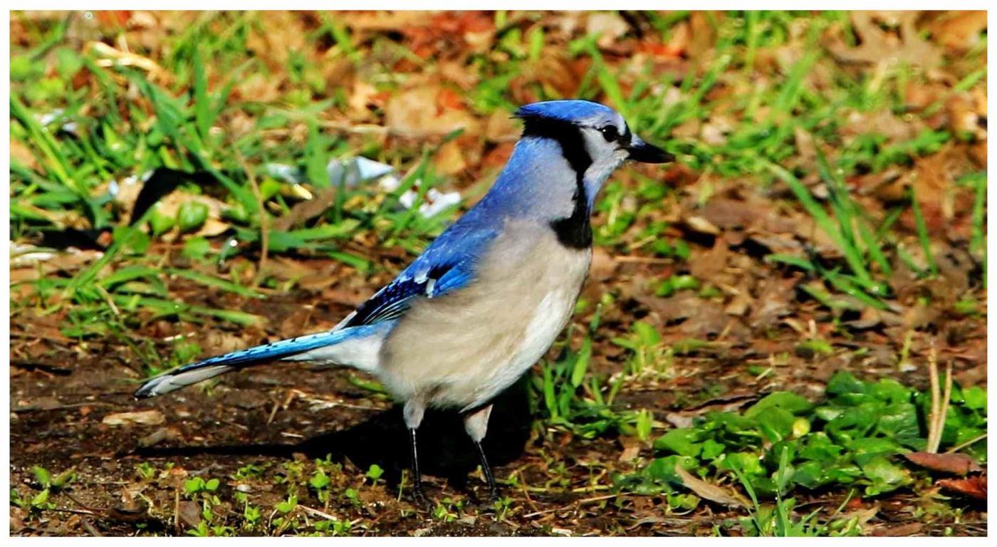 美国拍菜鸟(之五)冠蓝鸦_图1-5