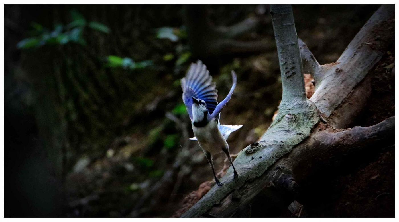 美国拍菜鸟(之五)冠蓝鸦_图1-1
