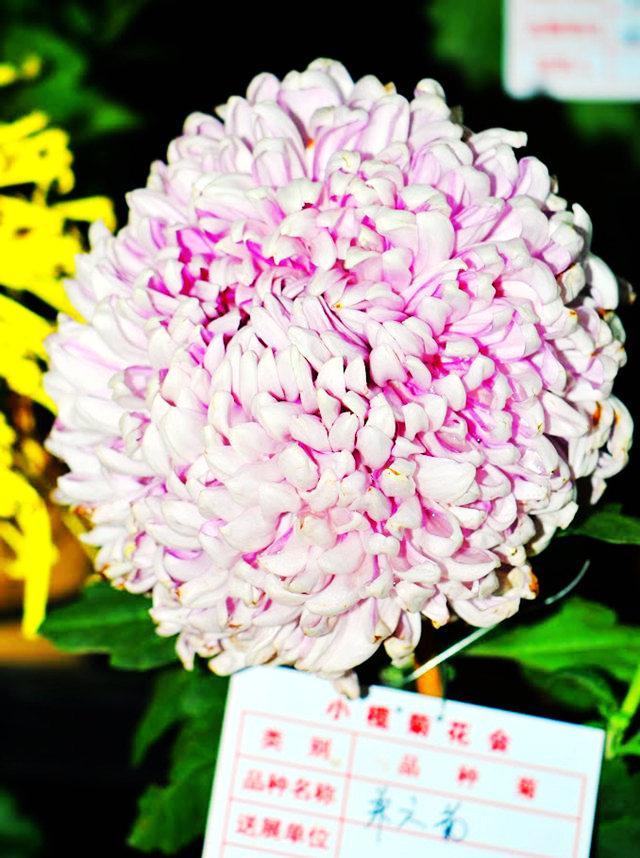 2011 小榄菊花_图1-6