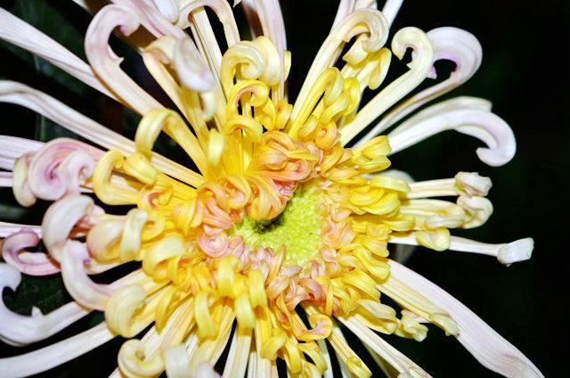2011 小榄菊花_图1-12